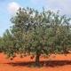 Χαρουπιά/Carob Tree