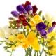 Φρέζια, το Λουλούδι που Ηλεκτρίζει